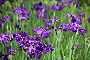 Iris, de elegantste van de bloemenparfums